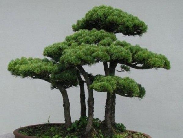 Loại cây vượng tài: Tùng bồng lai (tùng lá văn trúc, tùng lá thiên môn đông)