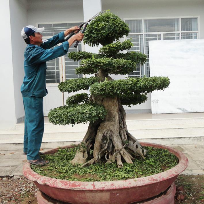 Cắt tỉa cây định kỳ
