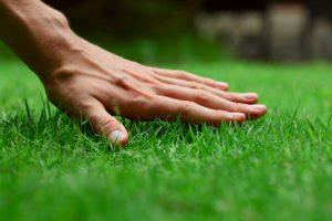 Hướng dẫn trồng và cách chăm sóc cỏ sân vườn