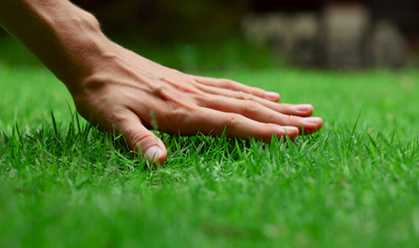 Cung ứng cỏ Nhật, Cỏ lá tre