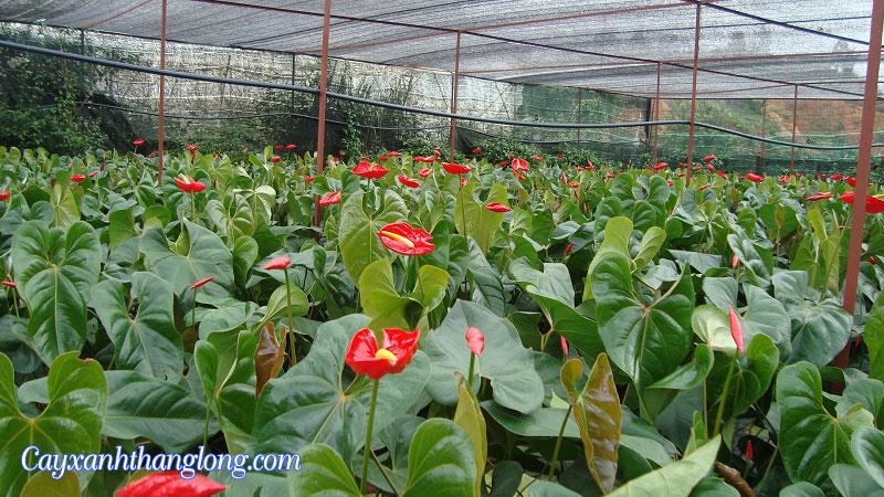 Vườn cây tiểu hồng môn
